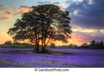 bello, atmosferico, maturo, vibrante, campagna, campi, immagine, cielo, lavanda, tramortire, tramonto, inglese, nubi, sopra, paesaggio