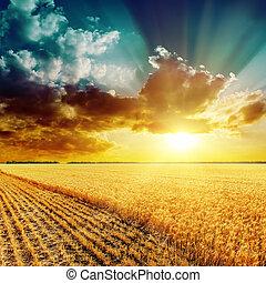 bello, dorato, sopra, esso, campo, tramonto, raccolta