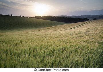 bello, estate, frumento, raccolto, campo, tramonto, crescente, durante, paesaggio
