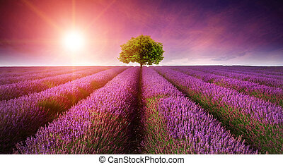 bello, estate, immagine, albero, giacimento lavanda, singolo, tramonto, orizzonte, sunburst, paesaggio