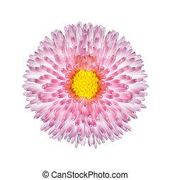 bello, fiore dentellare, perenne, isolato, margherita, bianco