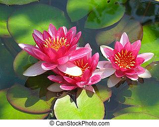 bello, fiore, loto, foglie, acqua, verde, azzurramento, giglio stagno, rosso
