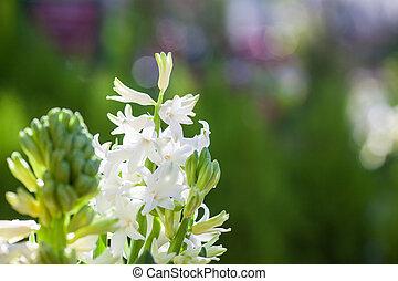 bello, fragrante, primavera, fioritura, giacinto, sfondo verde, bianco, colorito