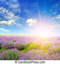 bello, lavanda, sunset., campo