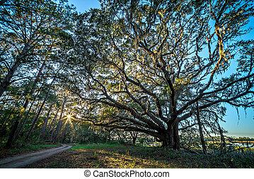 bello, natura, quercia, albero, piantagione, tramonto