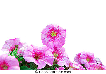 bello, rosa, petunias