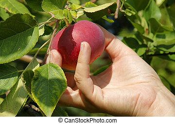 bello, scegliere, albero, mela, rosso