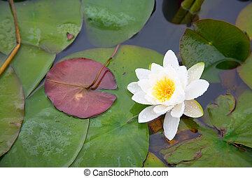 bello, stagno, bianco, waterlily