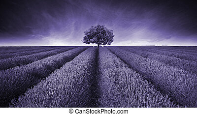 bello, toned, malva, immagine, albero, giacimento lavanda, singolo, paesaggio