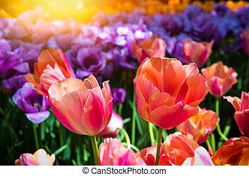 bello, tulips, multicolor, primo piano