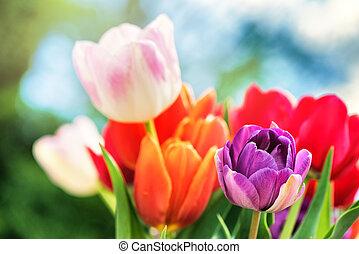 bello, tulips., natura, mazzolino, multicolor, fondo