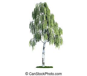 (betula), bianco, albero, isolato, betulla