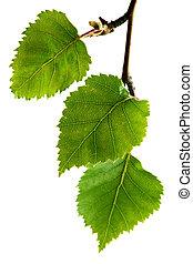 betulla, foglie, argento