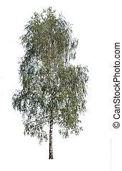 bianco, albero, isolato, fondo, betulla