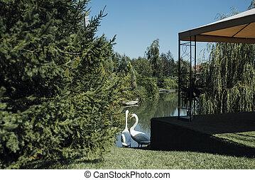 bianco, cigni, lago
