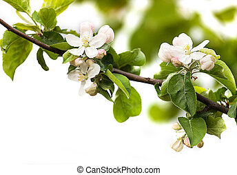 bianco, fiori, mela, fondo, ramo