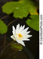 bianco, waterlily.