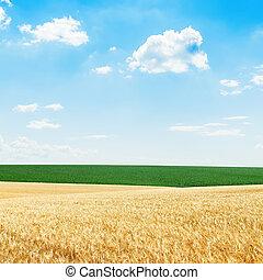 blu, dorato, campi, cielo, nuvoloso, verde, sotto, raccogliere