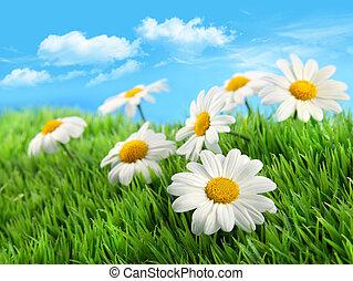 blu, erba, cielo, margherite, contro