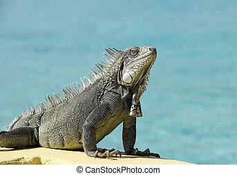 bonaire, iguana