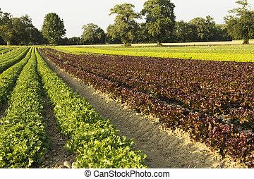 campi, insalate, agricolo
