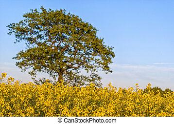 campo, albero, seme ravizzone