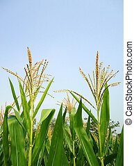 campo cereale, verde