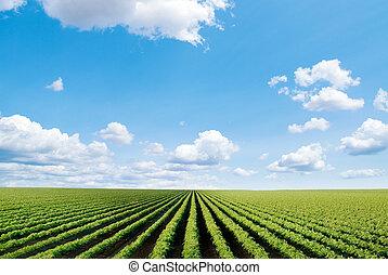 campo, coltivato