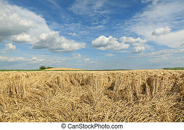 campo, danneggiato, frumento, agricoltura, raccogliere