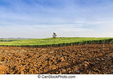 campo, fattoria, tropicale, canna zucchero, agricoltura, paesaggio