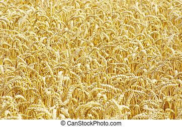 campo, frumento, dorato