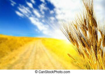 campo, frumento, giallo
