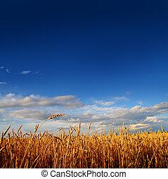 campo, frumento, tramonto, luce