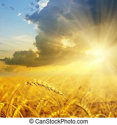 campo, frumento, tramonto, oro, orecchie