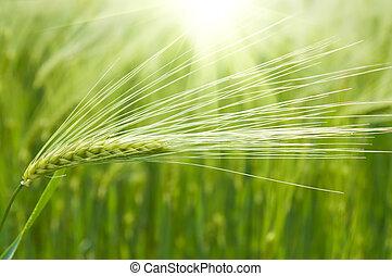 campo, frumento, verde, sunrays, sotto
