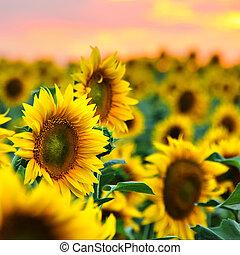 campo, girasoli, tramonto