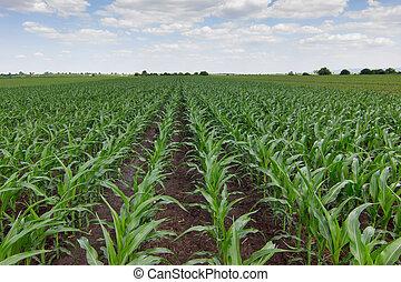 campo, granaglie, verde