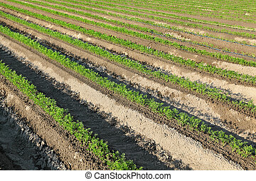 campo, pianta, carota, agricoltura