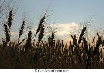 campo, rurale, agricoltura, scena, orzo