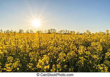 campo, seme ravizzone