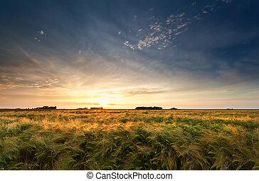 campo, sopra, tramonto, orzo, oro