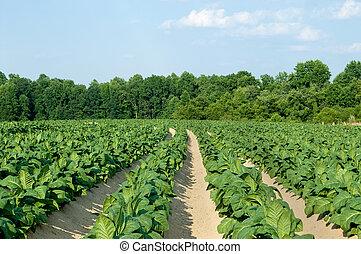 campo, tabacco