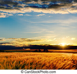 campo, tramonto, orzo, oro
