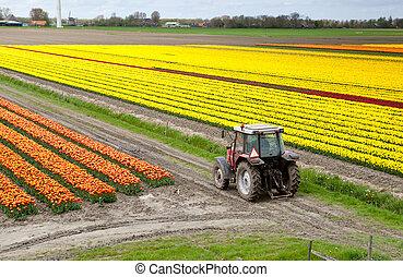 campo, trattore, tulipano