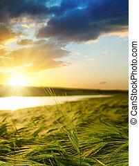 campo verde, sopra, tramonto, orzo