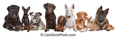cani, gruppo