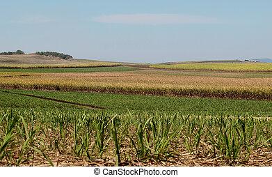 canna zucchero, industria, zucchero, fattoria, australiano, agricoltura, paesaggio