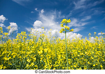 canola, o, fioritura, seme ravizzone, campo