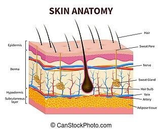 capelli, glands., epidermide, sano, medico, sebaceous, illustrazione, anatomia, skin., vettore, follicolo, pelle umana, a più livelli, sudore