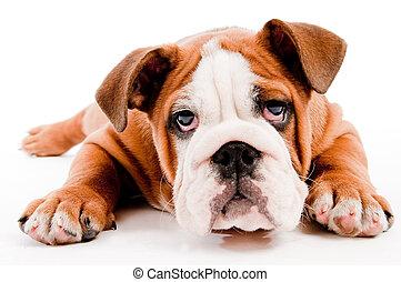 carino, cane